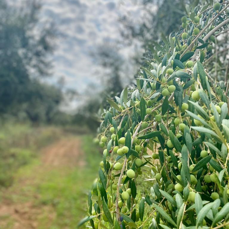 olivera_setembre